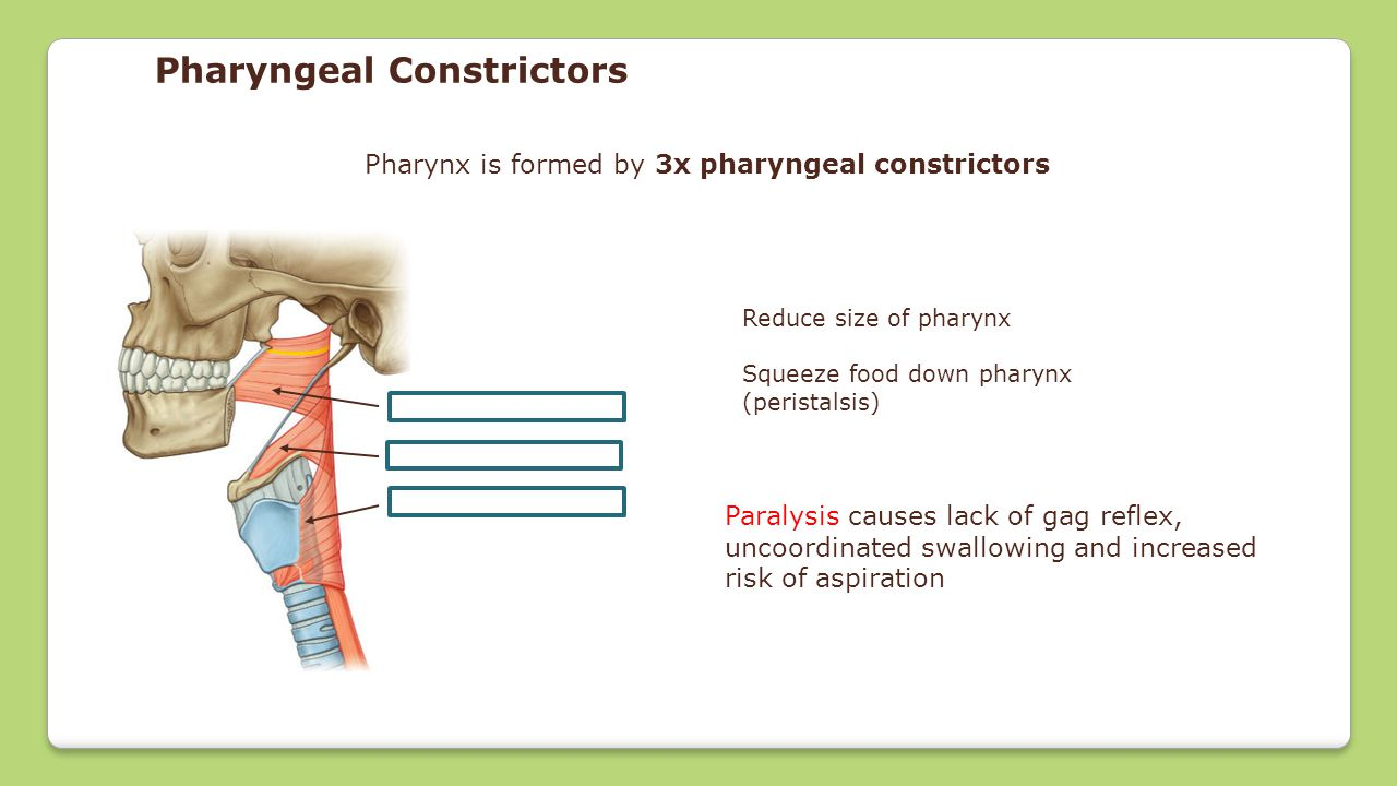 Pharynx is formed by 3x pharyngeal constrictors Reduce size of pharynx Squeeze food down pharynx (peristalsis) Pharyngeal Constrictors Superior constr