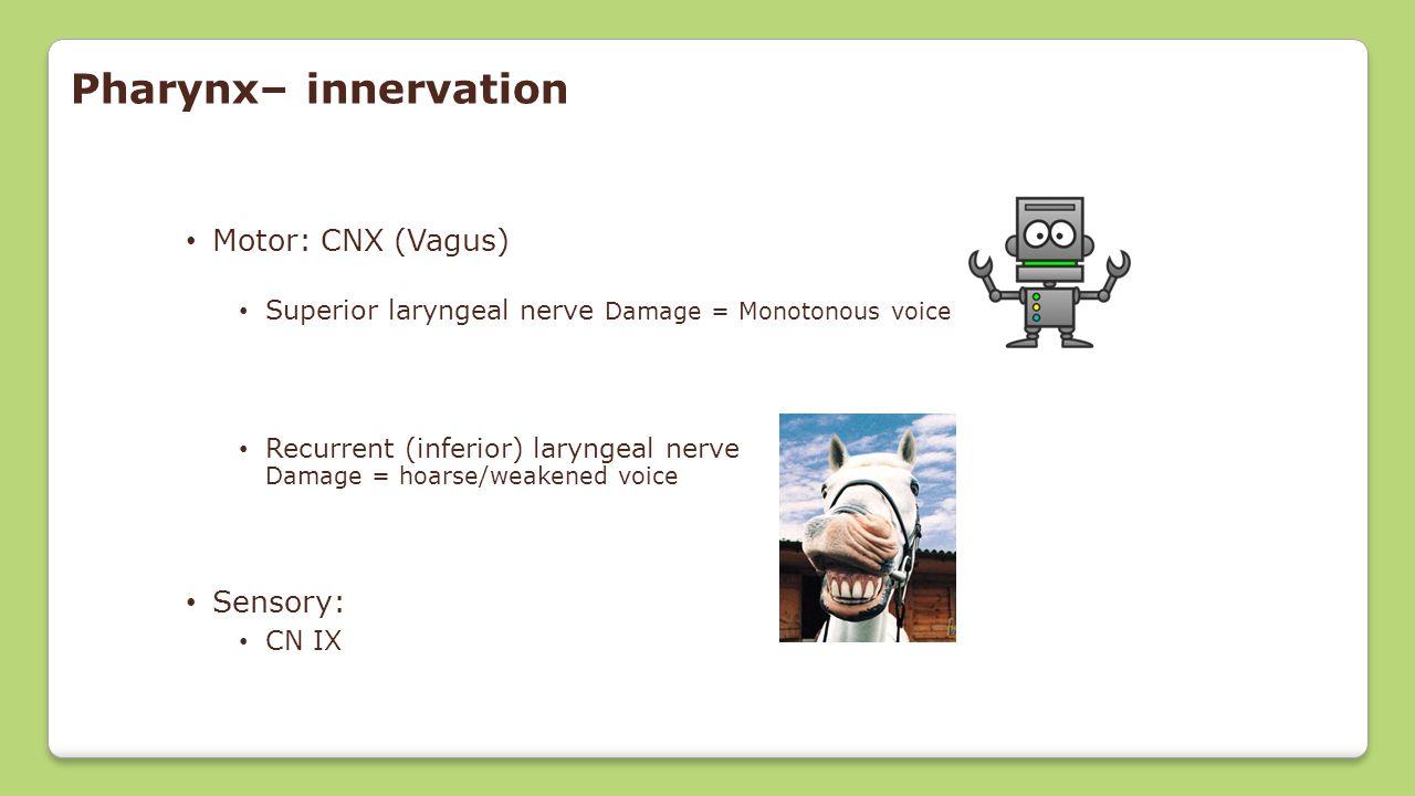 Pharynx– innervation Motor: CNX (Vagus) Superior laryngeal nerve Damage = Monotonous voice Recurrent (inferior) laryngeal nerve Damage = hoarse/weaken