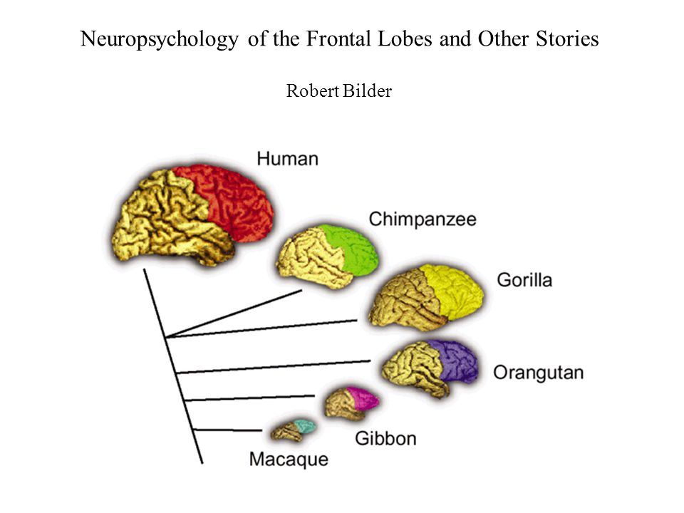 Dual Trends Model: Derivation and Differentiation Primordial derivation –archicortical: hippocampal - dorsal-medial –paleocortical: olfactory - ventral-lateral Architectonic differentiation –most primitive: allocortex (3 layers) –more differentiated: periallocortex, proisocortex (4 or 5 layers) –most differentiated: isocortex (6 layers) –within isocortex, 1°  2°  3°