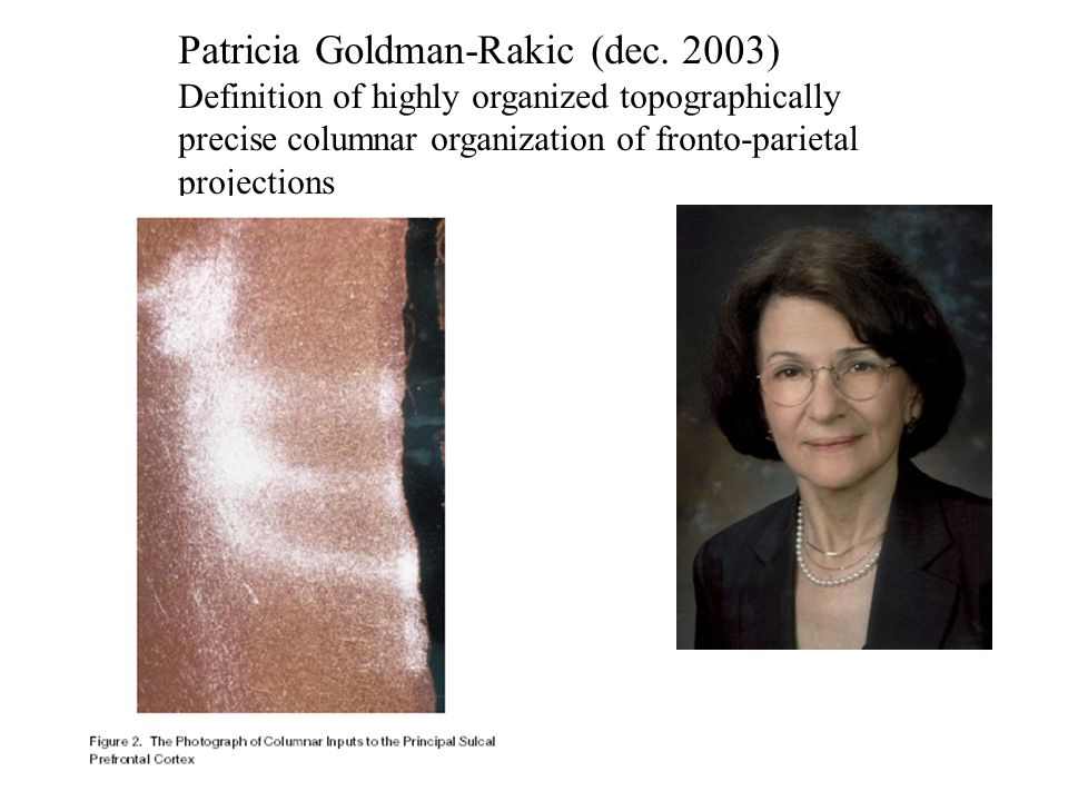 Patricia Goldman-Rakic (dec. 2003) Definition of highly organized topographically precise columnar organization of fronto-parietal projections
