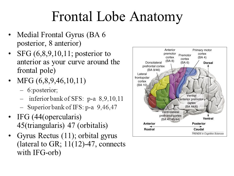 Lesion studies Head injuries (TBI) common source Syndromes and deficits; likely anatomical correlates : orbital pathway –Arousal changes: Adynamia or agitation: –Likely due to orbital frontal damage, usually extensive.