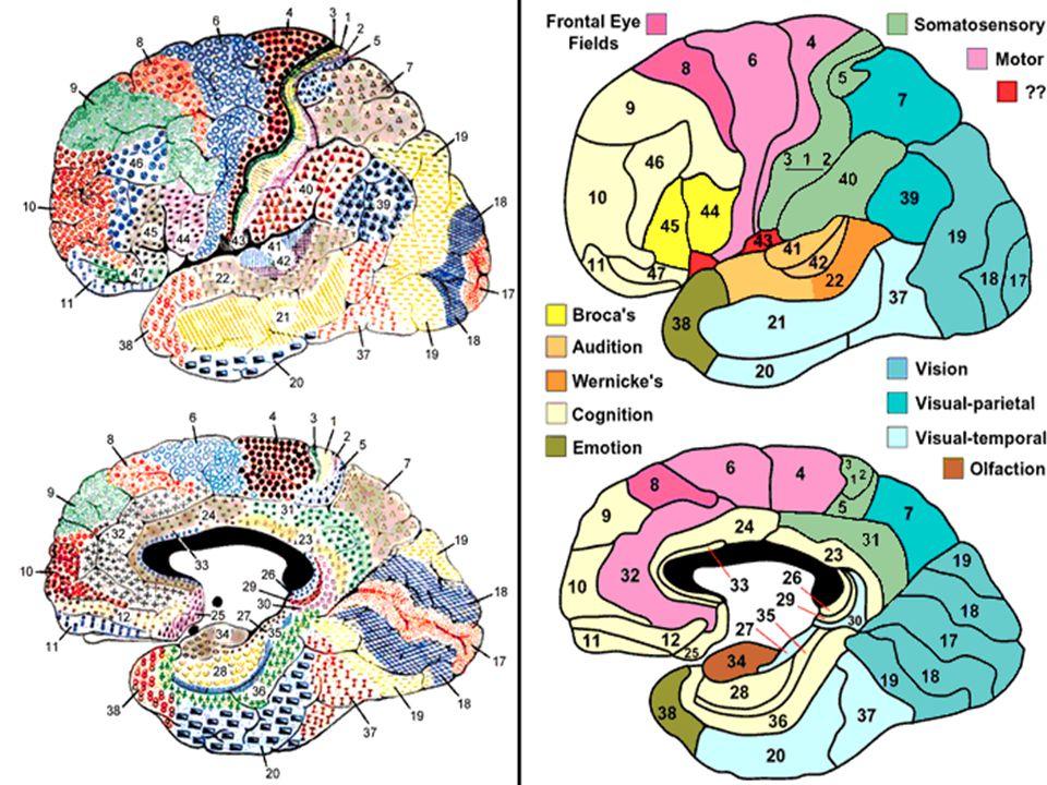 The Hippocampal System as Mismatch Detector Hippocampal sensitivity to novelty, and synchronization (θ) (Douglas & Pribram, 1968; cf.