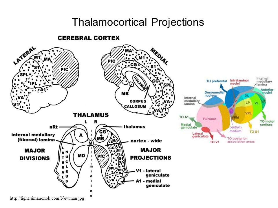 Thalamocortical Projections http://light.simanonok.com/Newman.jpg