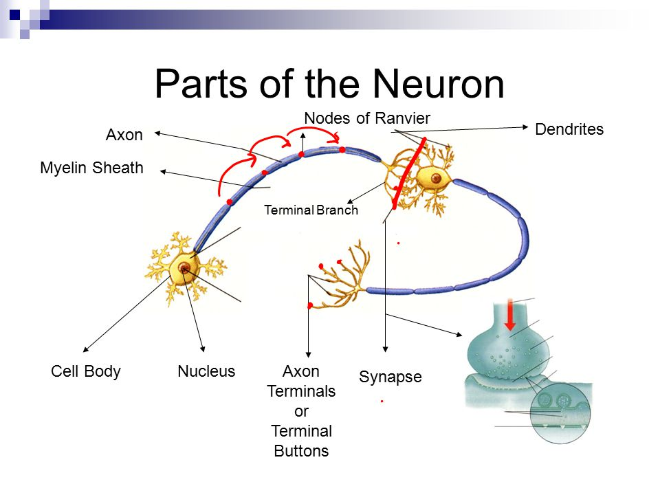 Chemical messengers called neurotransmitters enter receptor sites on the dendrites and cell body.