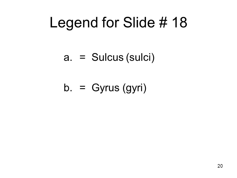 20 Legend for Slide # 18 a.= Sulcus (sulci) b.= Gyrus (gyri)