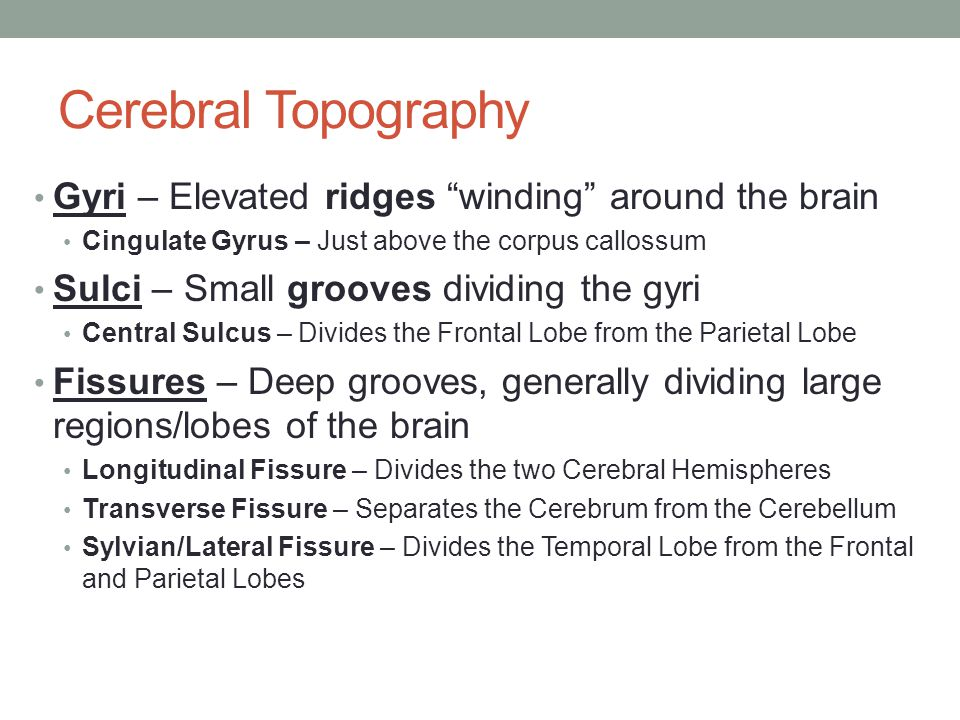 """Cerebral Topography Gyri – Elevated ridges """"winding"""" around the brain Cingulate Gyrus – Just above the corpus callossum Sulci – Small grooves dividing"""