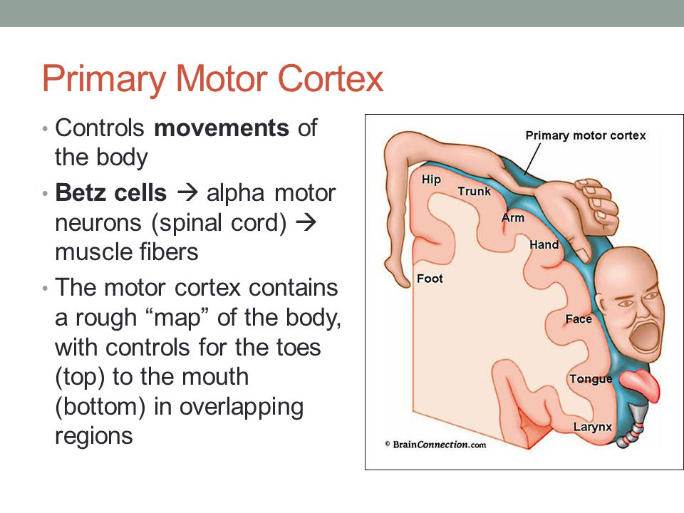 """Controls movements of the body Betz cells  alpha motor neurons (spinal cord)  muscle fibers The motor cortex contains a rough """"map"""" of the body, wit"""