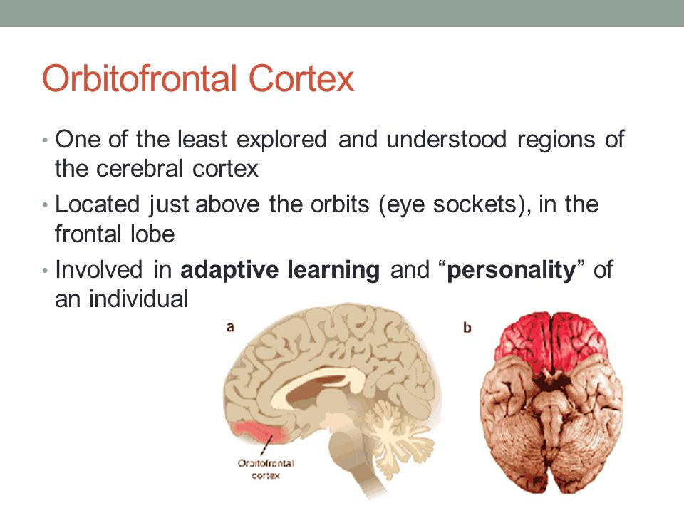 Orbitofrontal Cortex One of the least explored and understood regions of the cerebral cortex Located just above the orbits (eye sockets), in the front
