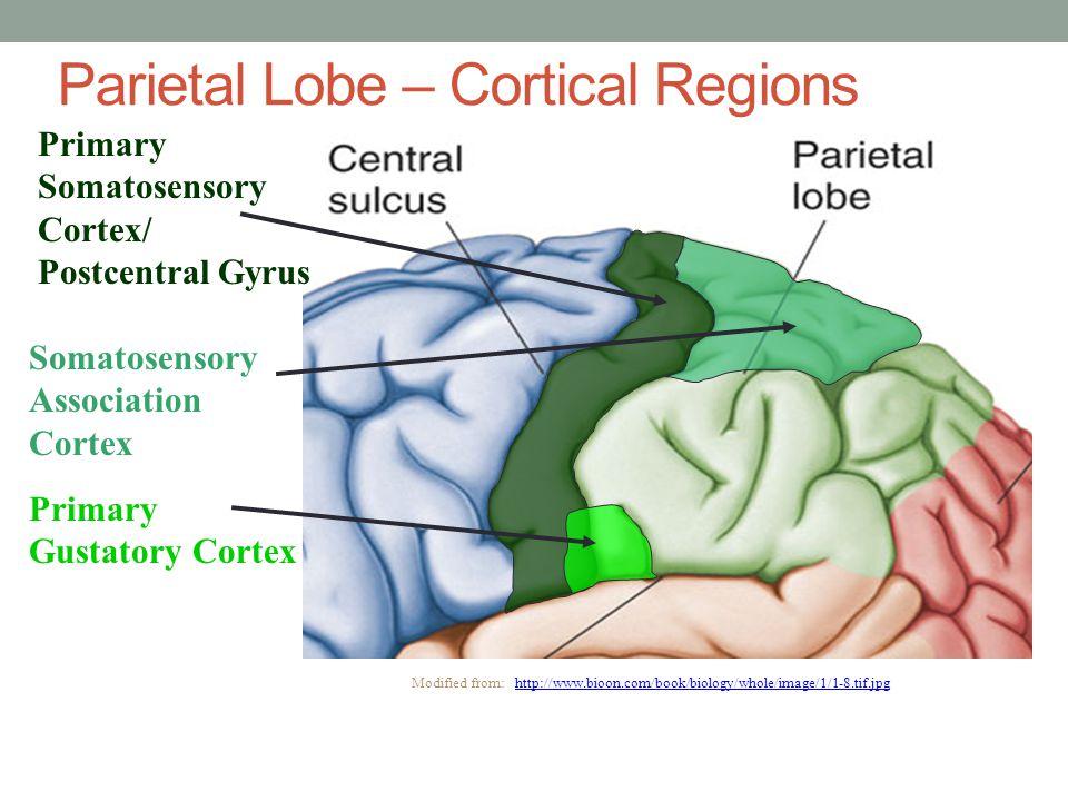Primary Somatosensory Cortex/ Postcentral Gyrus Primary Gustatory Cortex Somatosensory Association Cortex Modified from: http://www.bioon.com/book/bio