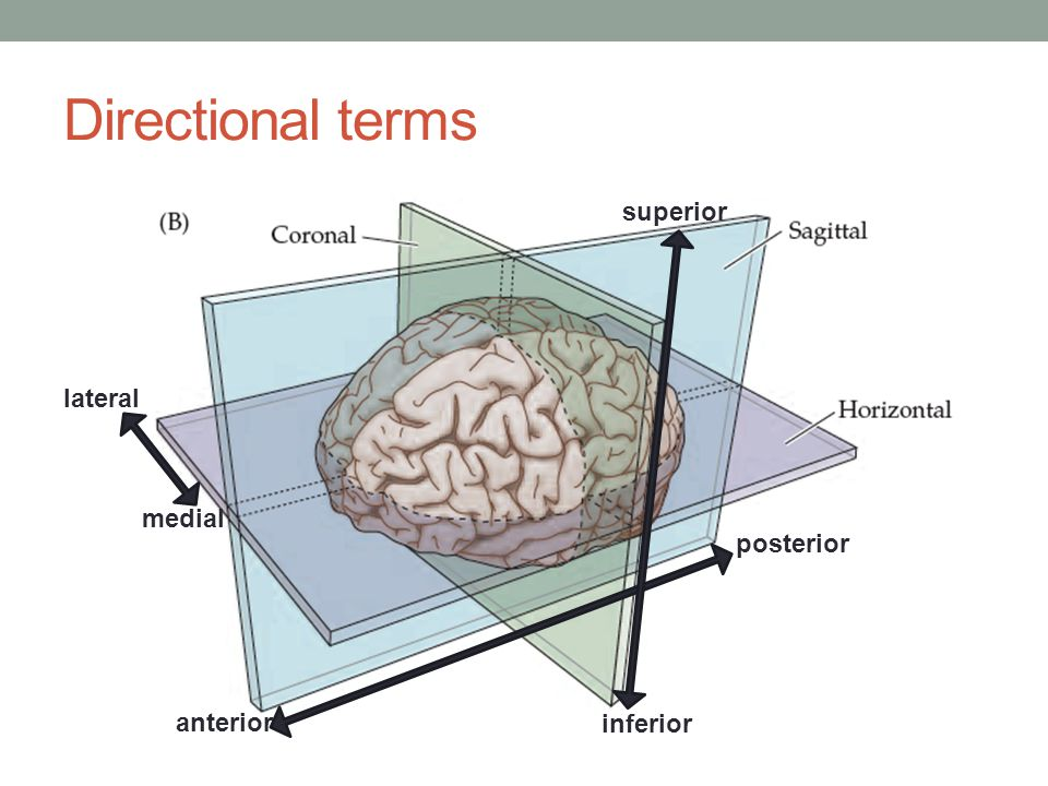 Frontal Lobe The frontal lobe is located deep to the frontal bone.
