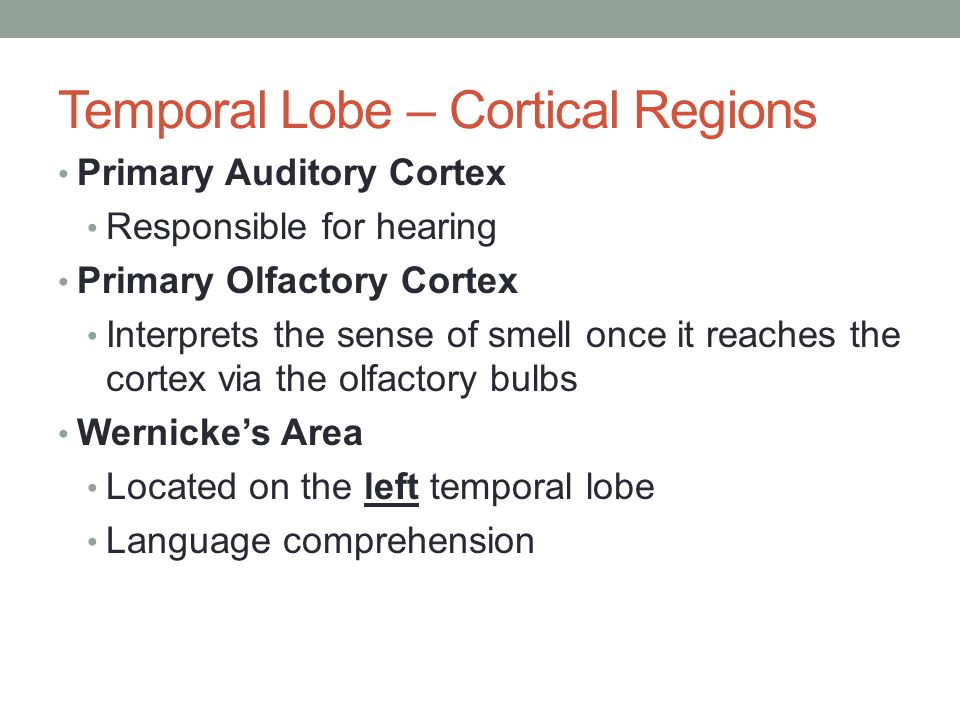 Temporal Lobe – Cortical Regions Primary Auditory Cortex Responsible for hearing Primary Olfactory Cortex Interprets the sense of smell once it reache