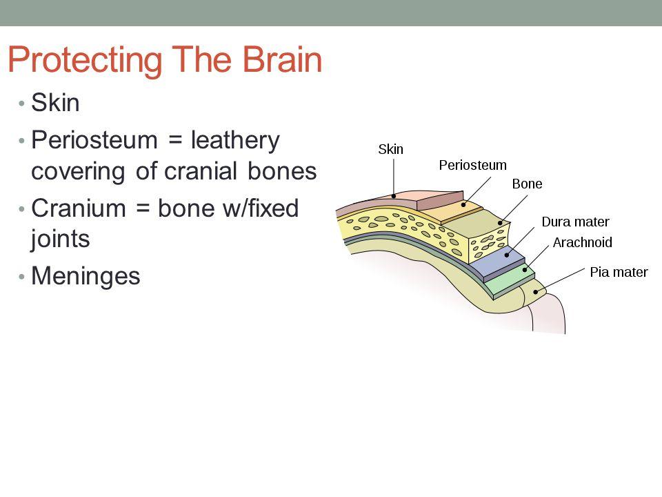 Dura mater = tough fibrous tissue covering the brain.