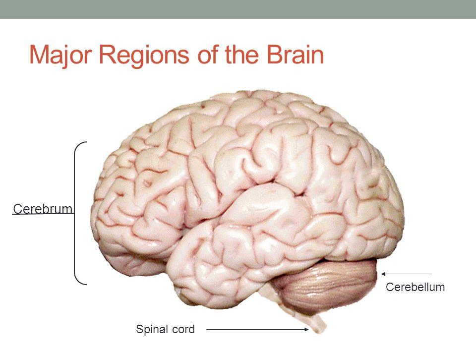 Major Regions of the Brain Cerebrum Cerebellum Spinal cord