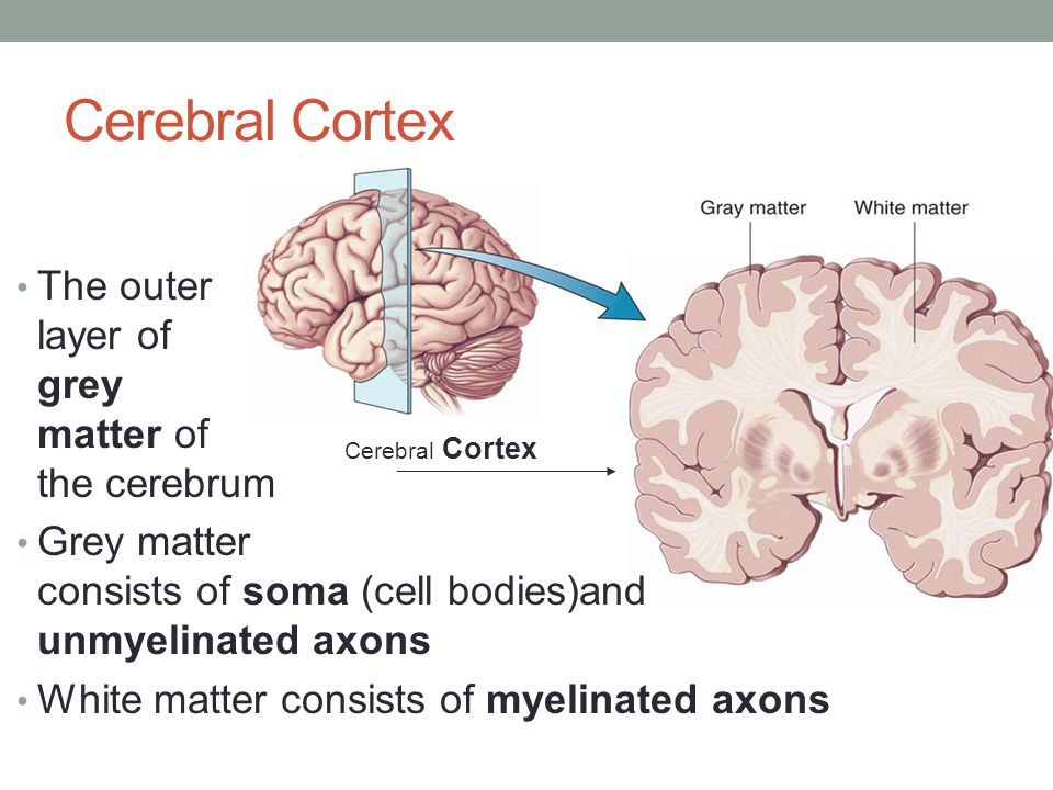 Cerebral Cortex The outer layer of grey matter of the cerebrum Grey matter consists of soma (cell bodies)and unmyelinated axons White matter consists
