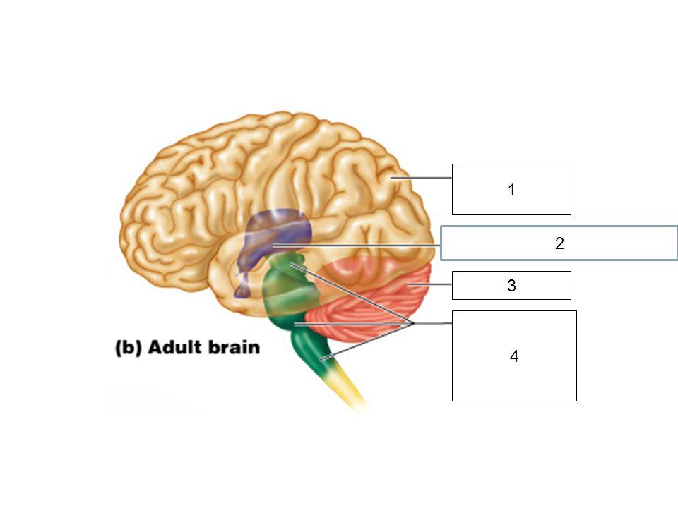 Thalamus and Hypothalamus 1.Midbrain 2.Pons 3.Medulla