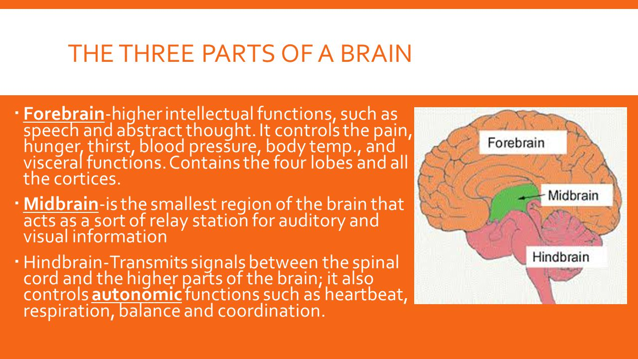 THE THREE PARTS OF A BRAIN  Forebrain-higher intellectual functions, such as speech and abstract thought. It controls the pain, hunger, thirst, blood