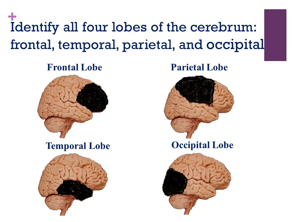 + Identify all four lobes of the cerebrum: frontal, temporal, parietal, and occipital Frontal LobeParietal Lobe Temporal Lobe Occipital Lobe