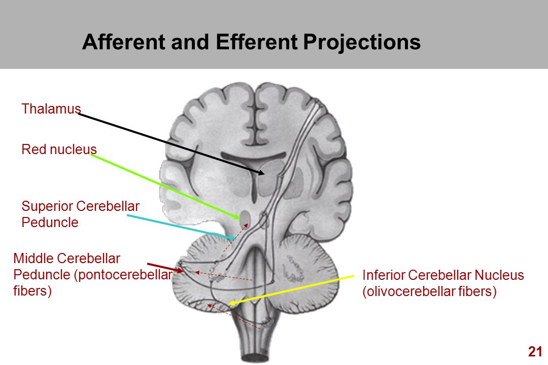 22 Afferent Pathways (Middle) Info From Pontine Nuclei From Opposite Cerebral Cortex, Visual and Auditory Inputs To Opposite Cerebellar Hemisphere