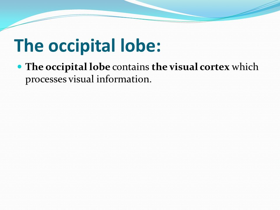 The occipital lobe: The occipital lobe contains the visual cortex which processes visual information.