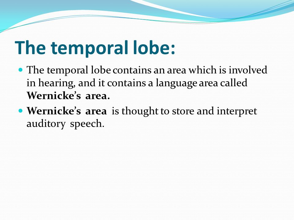 The temporal lobe: The temporal lobe contains an area which is involved in hearing, and it contains a language area called Wernicke's area. Wernicke's