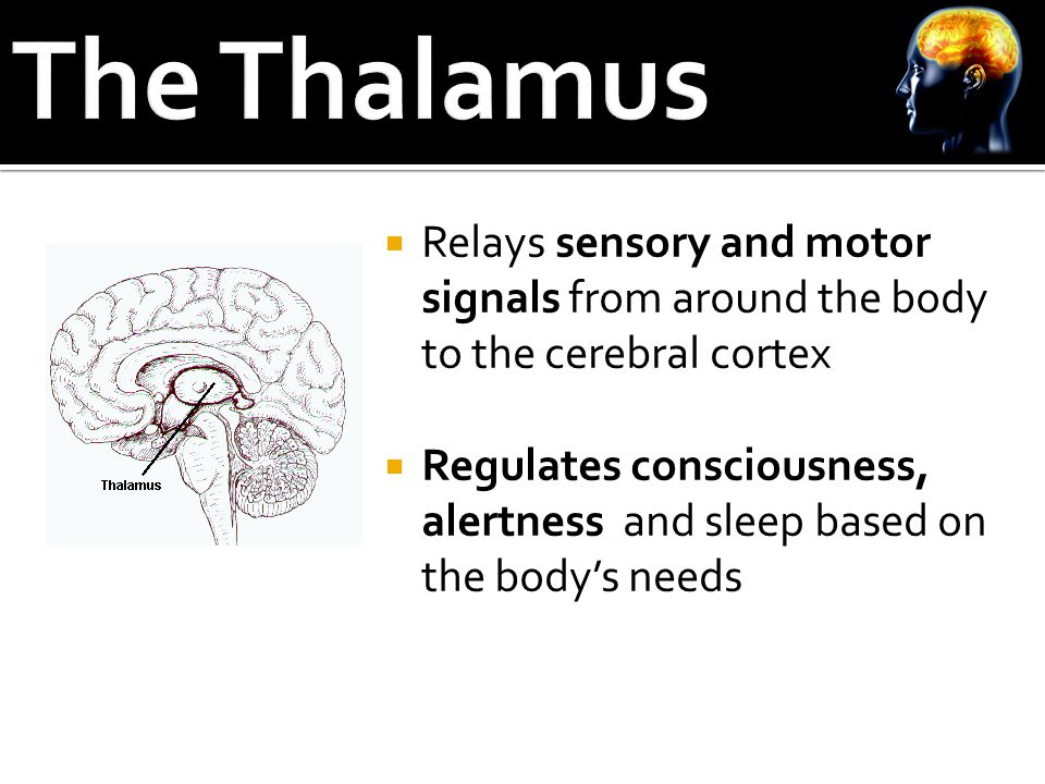  Relays sensory and motor signals from around the body to the cerebral cortex  Regulates consciousness, alertness and sleep based on the body's needs