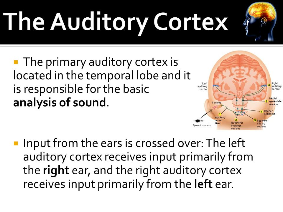  The primary auditory cortex is located in the temporal lobe and it is responsible for the basic analysis of sound.
