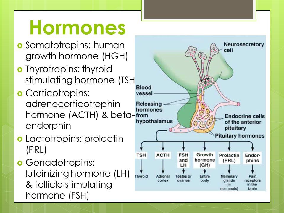Hormones  Somatotropins: human growth hormone (HGH)  Thyrotropins: thyroid stimulating hormone (TSH)  Corticotropins: adrenocorticotrophin hormone (ACTH) & beta- endorphin  Lactotropins: prolactin (PRL)  Gonadotropins: luteinizing hormone (LH) & follicle stimulating hormone (FSH)