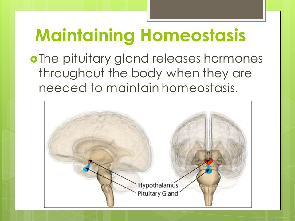 Maintaining Homeostasis  The pituitary gland releases hormones throughout the body when they are needed to maintain homeostasis.