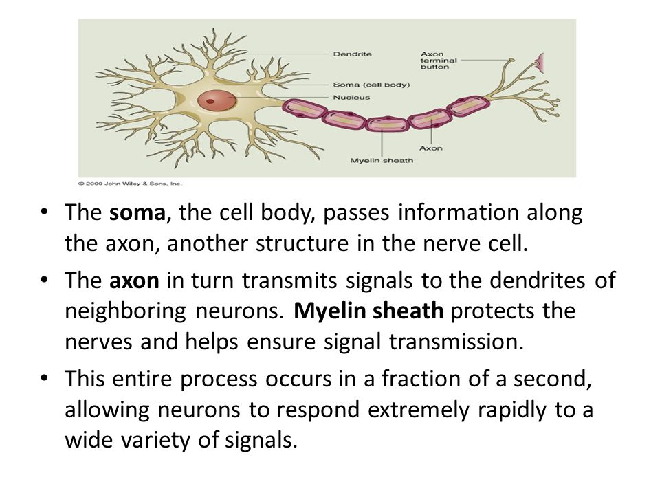 The soma, the cell body, passes information along the axon, another structure in the nerve cell.