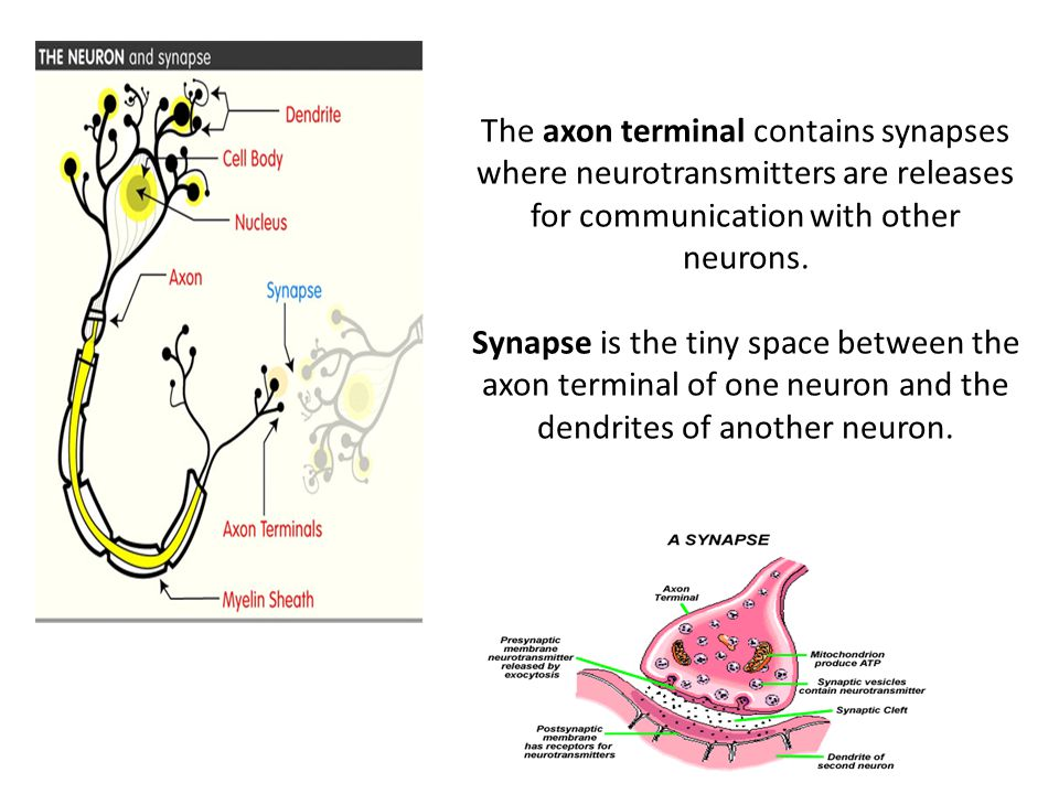 The axon terminal contains synapses where neurotransmitters are releases for communication with other neurons.