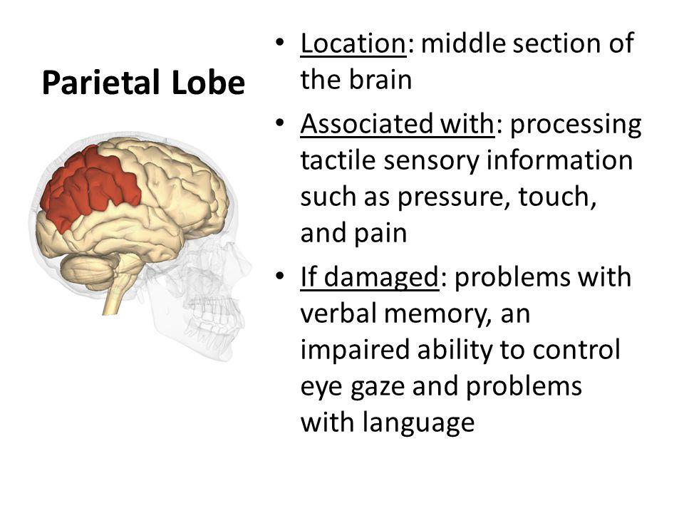 Middle school communications the human brain parts of the 4 parietal ccuart Images