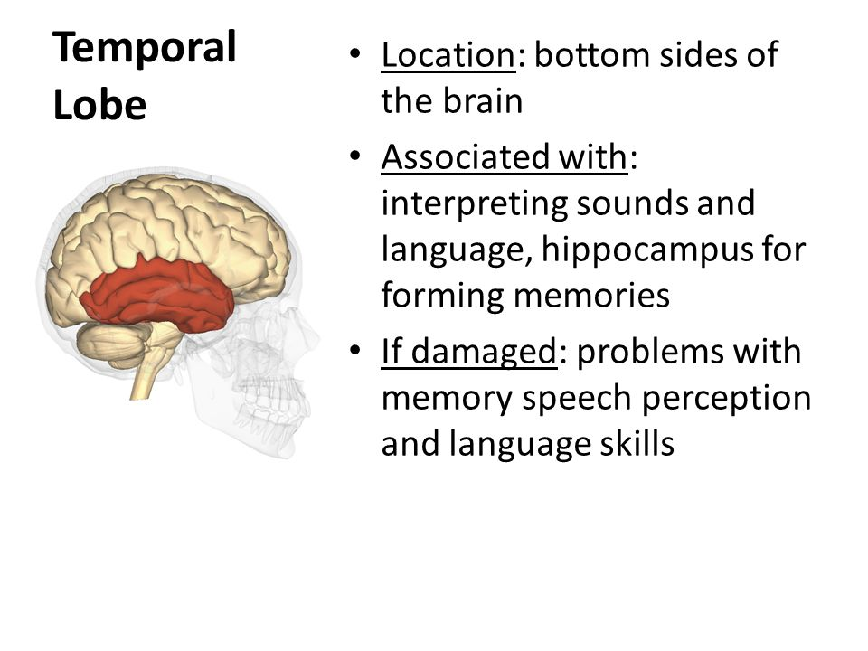 Temporal Lobe Location: bottom sides of the brain Associated with: interpreting sounds and language, hippocampus for forming memories If damaged: problems with memory speech perception and language skills