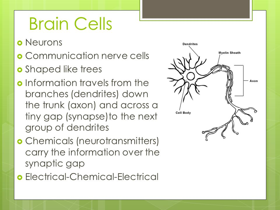 Brain Cells  Neurons  Communication nerve cells  Shaped like trees  Information travels from the branches (dendrites) down the trunk (axon) and across a tiny gap (synapse)to the next group of dendrites  Chemicals (neurotransmitters) carry the information over the synaptic gap  Electrical-Chemical-Electrical