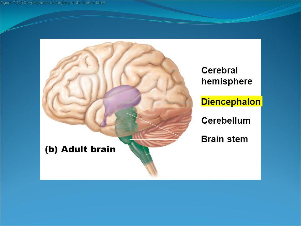 Third ventricle Anterior commissure Hypothalamus Optic chiasma Pituitary gland Mammillary body Pons Medulla oblongata Spinal cord (a) Cerebral hemisphere Corpus callosum Choroid plexus of third ventricle Occipital lobe of cerebral hemisphere Thalamus (encloses third ventricle) Pineal gland (part of epithalamus) Corpora quadrigemina Cerebral aqueduct Cerebral peduncle Fourth ventricle Choroid plexus Cerebellum Midbrain