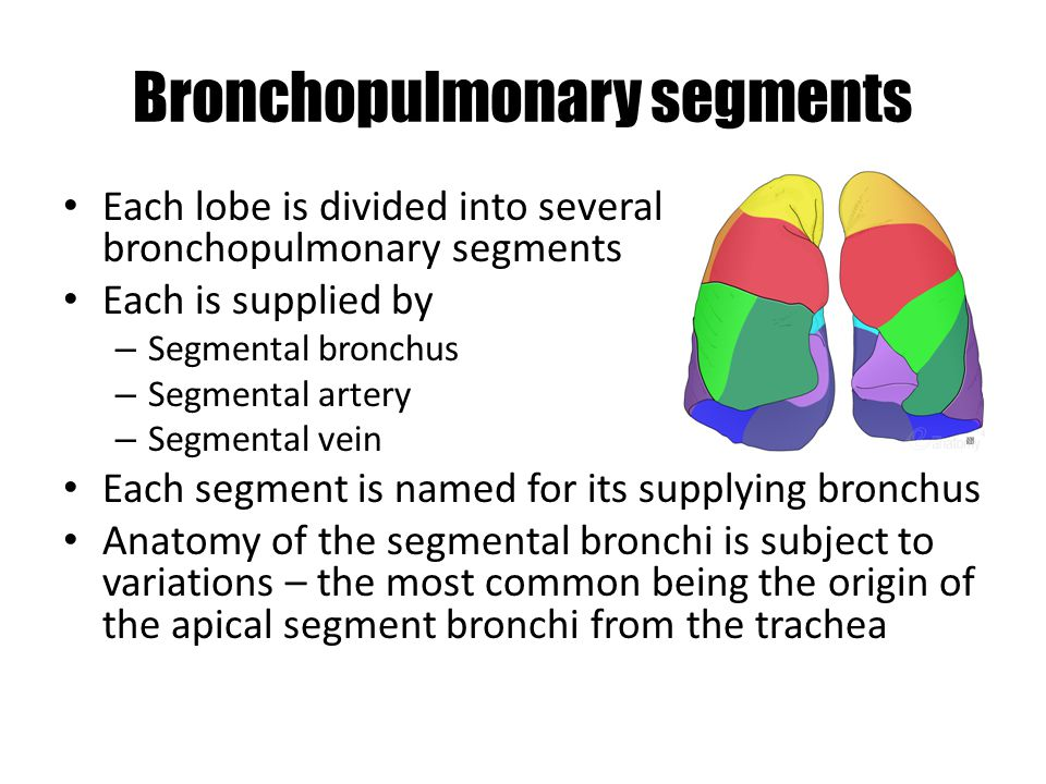Bronchopulmonary segments Each lobe is divided into several bronchopulmonary segments Each is supplied by – Segmental bronchus – Segmental artery – Segmental vein Each segment is named for its supplying bronchus Anatomy of the segmental bronchi is subject to variations – the most common being the origin of the apical segment bronchi from the trachea