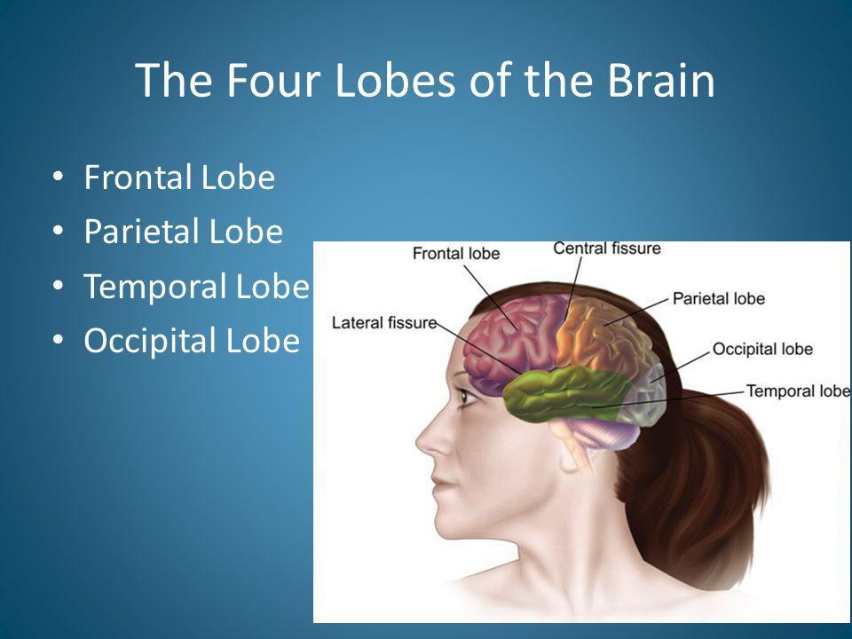 The Four Lobes of the Brain Frontal Lobe Parietal Lobe Temporal Lobe Occipital Lobe