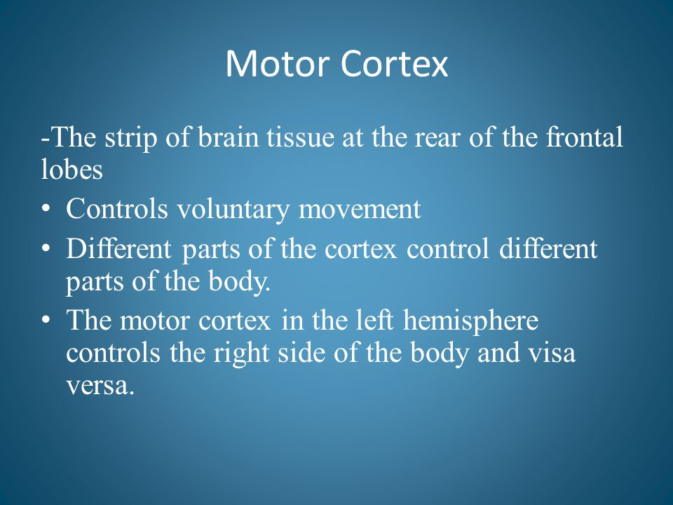 Motor Cortex -The strip of brain tissue at the rear of the frontal lobes Controls voluntary movement Different parts of the cortex control different p