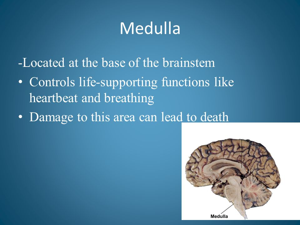 Medulla -Located at the base of the brainstem Controls life-supporting functions like heartbeat and breathing Damage to this area can lead to death