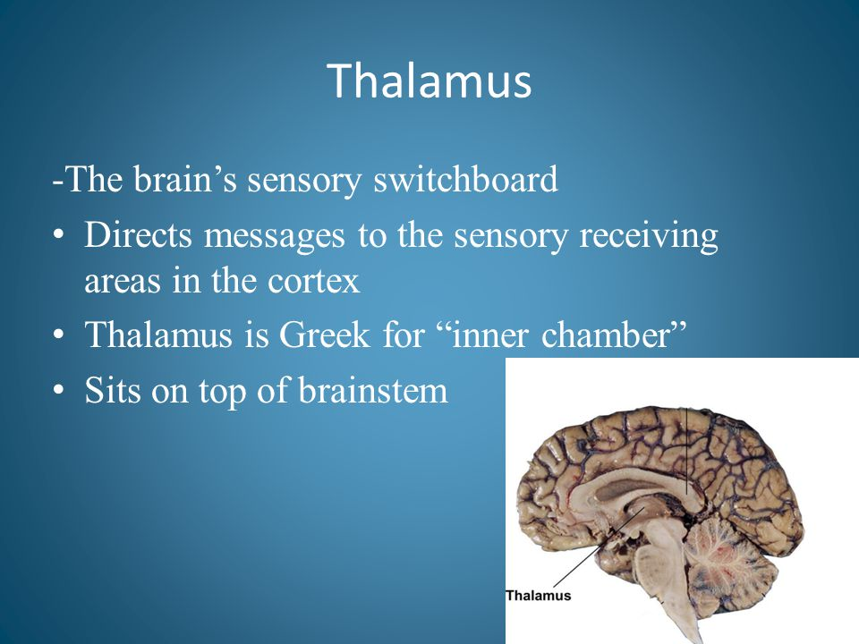 """Thalamus -The brain's sensory switchboard Directs messages to the sensory receiving areas in the cortex Thalamus is Greek for """"inner chamber"""" Sits on"""