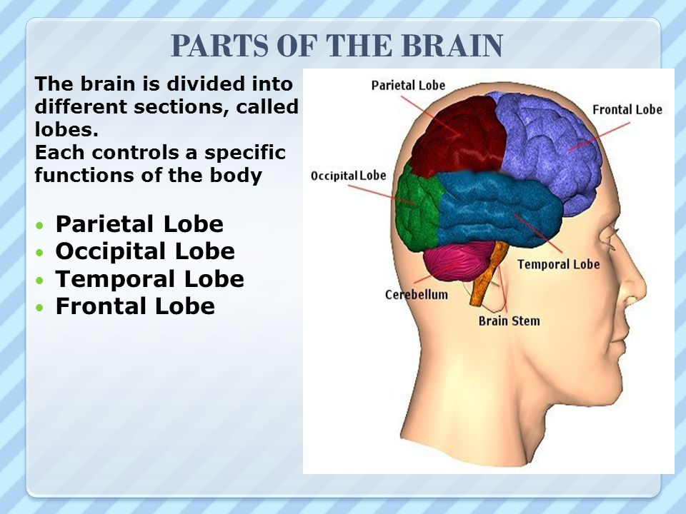 PARTS OF THE BRAIN The brain is divided into different sections, called lobes. Each controls a specific functions of the body Parietal Lobe Occipital