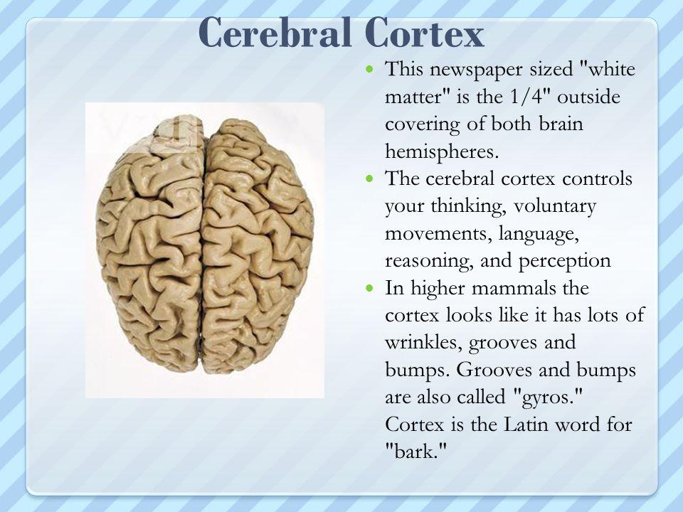 Cerebral Cortex This newspaper sized