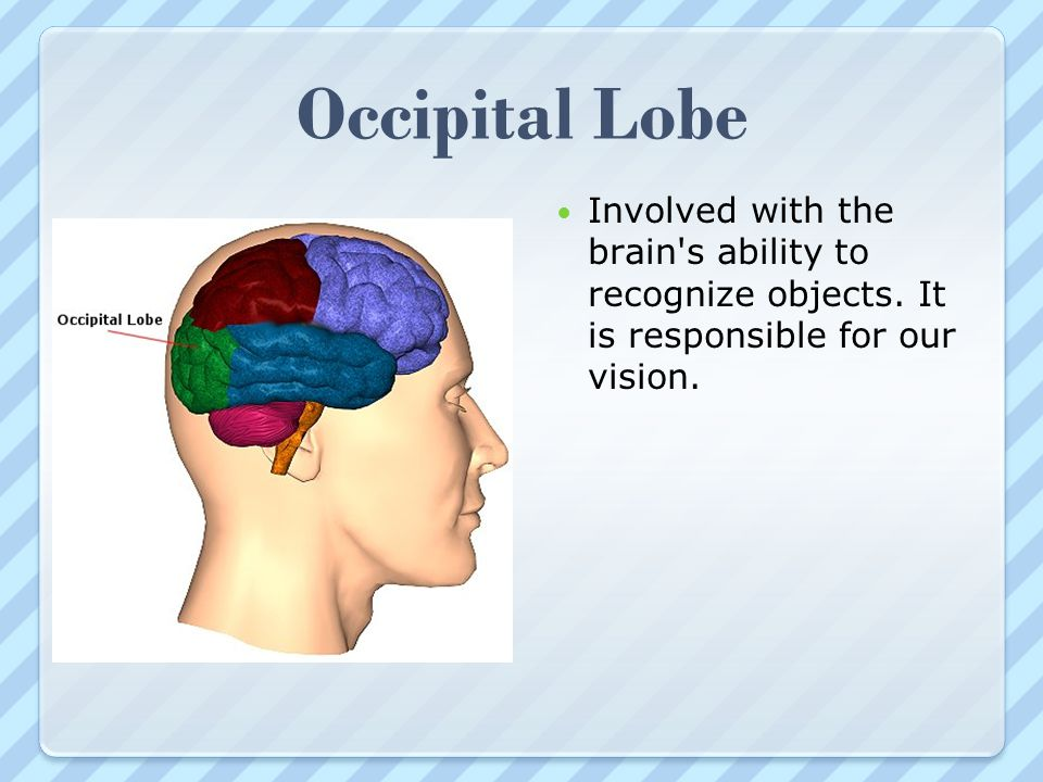 Occipital Lobe Involved with the brain's ability to recognize objects. It is responsible for our vision.