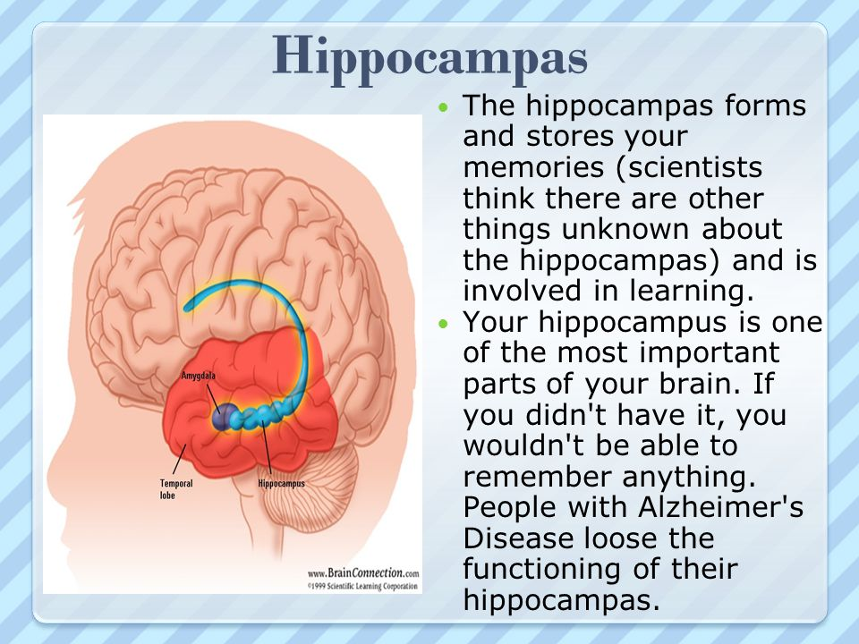 Hippocampas The hippocampas forms and stores your memories (scientists think there are other things unknown about the hippocampas) and is involved in