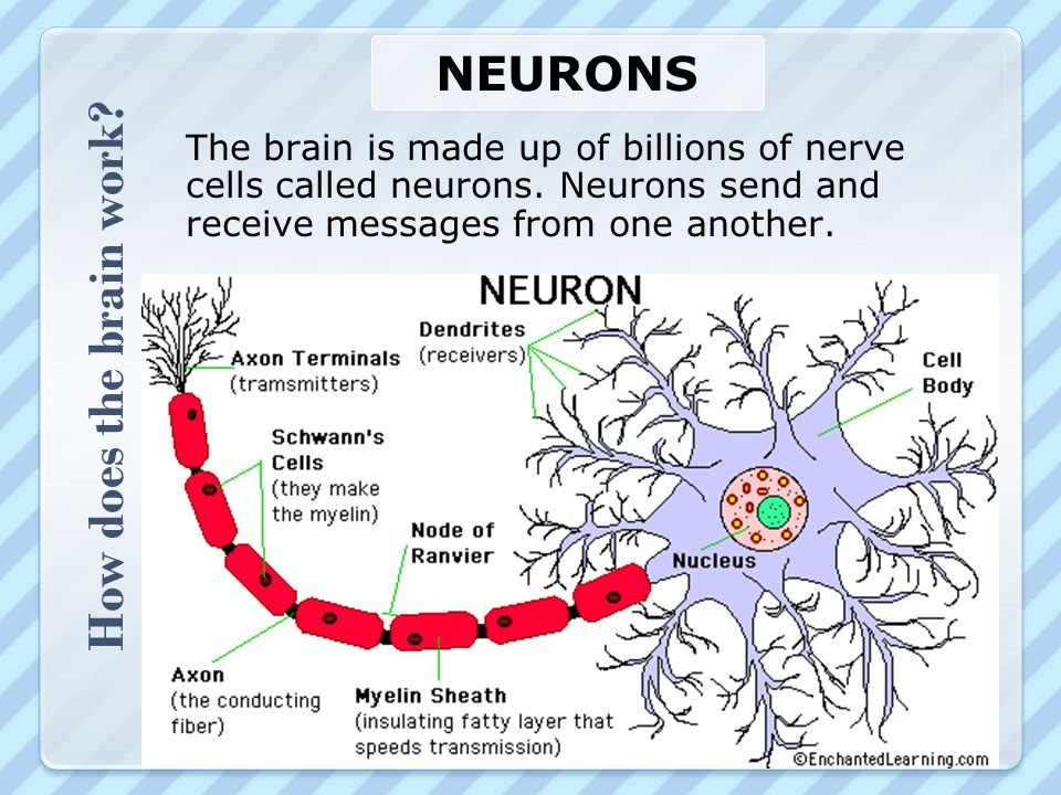 How does the brain work? NEURONS The brain is made up of billions of nerve cells called neurons. Neurons send and receive messages from one another.