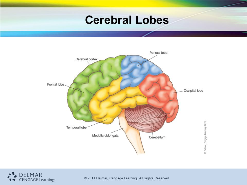 © 2013 Delmar, Cengage Learning. All Rights Reserved Cerebral Lobes