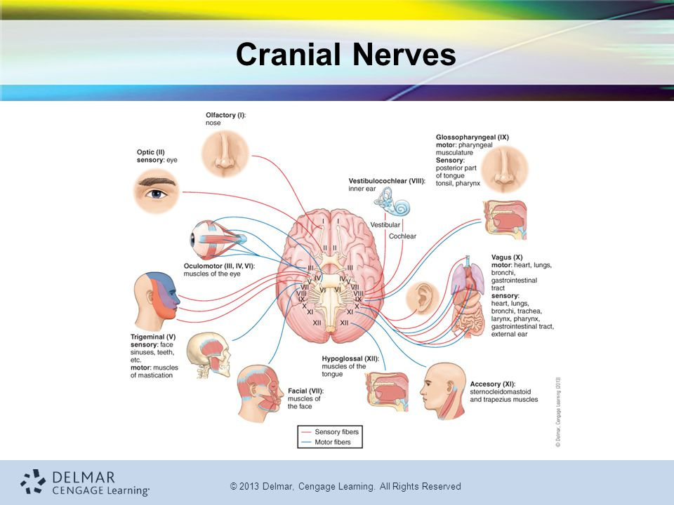 © 2013 Delmar, Cengage Learning. All Rights Reserved Cranial Nerves