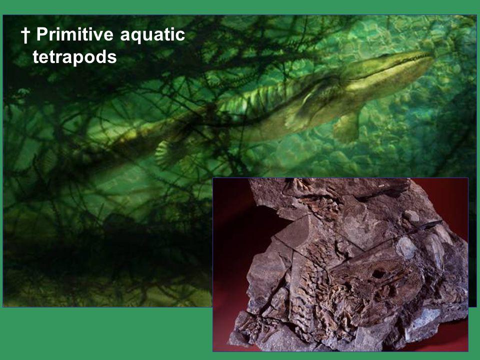 † Primitive aquatic tetrapods