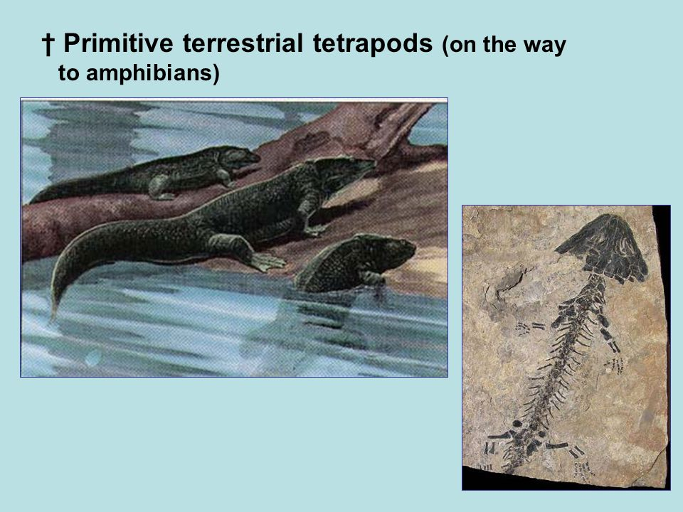 † Primitive terrestrial tetrapods (on the way to amphibians)