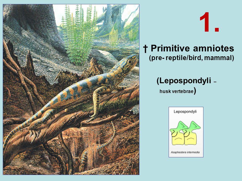 † Primitive amniotes (pre- reptile/bird, mammal) (Lepospondyli – husk vertebrae ) 1.