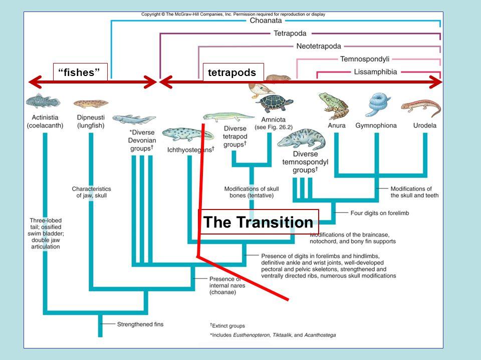 Tetrapods † aquatic tetrapods † semi-terrestrial tetrapods † Lepospondyli Amniotes † Temnospondyli Amphibians Terrestrial tetrapods